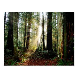 Redwood Morning Postcard