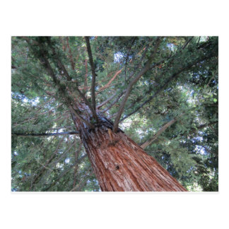 Redwood tree postcard