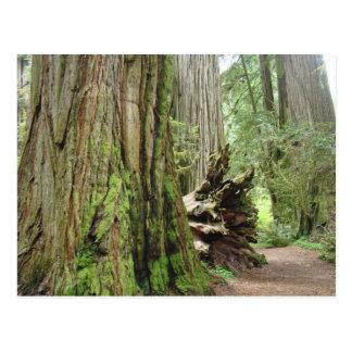 Redwood Tree postcards Big California Redwoods