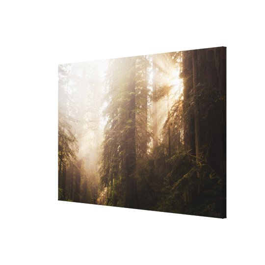 Redwood Trees in Morning Fog with Sunrays Canvas Print