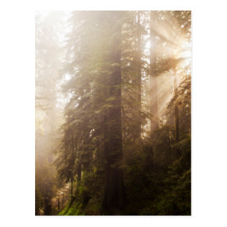 Redwood Trees in Morning Fog with Sunrays Postcard