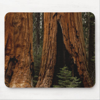 Redwood Trees, Sequoia National Park. Mouse Pads