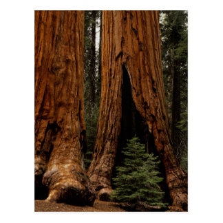 Redwood Trees, Sequoia National Park. Postcard