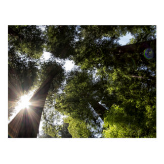 Redwoods, Humboldt Redwoods State Park Postcard