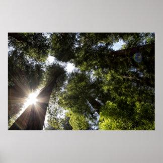 Redwoods, Humboldt Redwoods State Park Posters