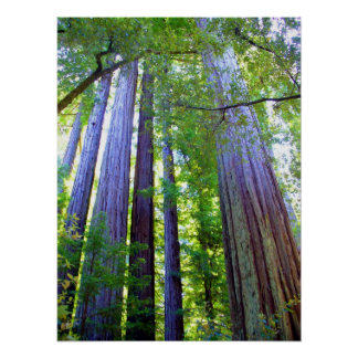 Redwoods Poster