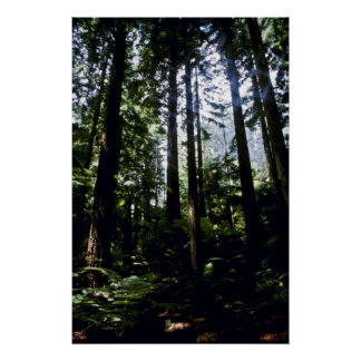 Redwoods, Whaka Forest, Rotoua Poster