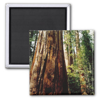Redwoods- Yosemite Magnet