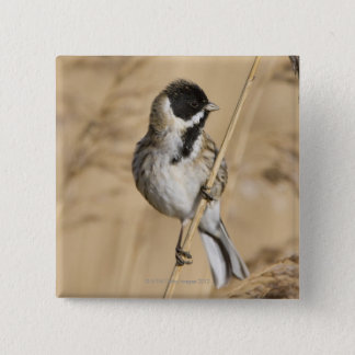 Reed Bunting (Emberiza schoeniclus) perched in 2 Inch Square Button