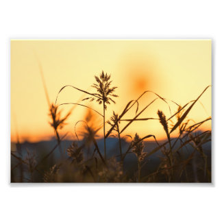 Reeds at sunset light in photo print.