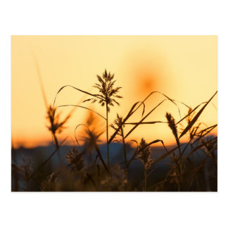 Reeds at sunset light postcard
