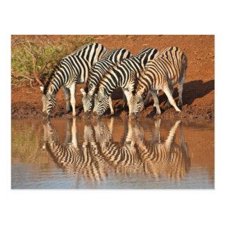 Reflections: Zebras Postcard