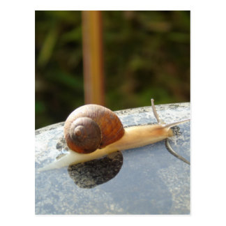 Refreshing Snail Postcard