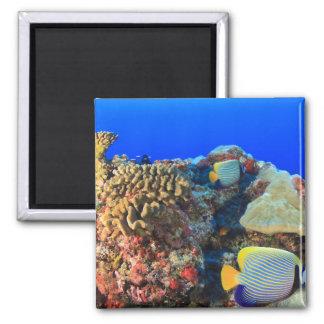 Regal Angelfish Pygoplites diacanthus), Square Magnet
