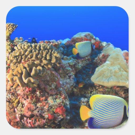 Regal Angelfish Pygoplites diacanthus), Sticker