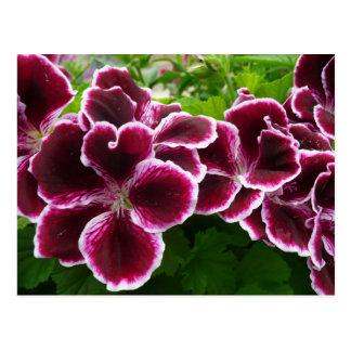 Regal Geranium Flowers Elegant Maroon Floral Postcard