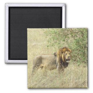 regal lion square magnet