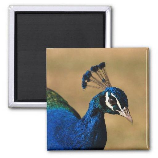 Regal peacock - customizable template magnet