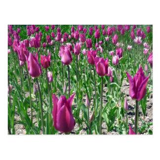 Regal Purple Tulips Postcard