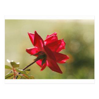 Regal Red Rose Back Lit Post Card