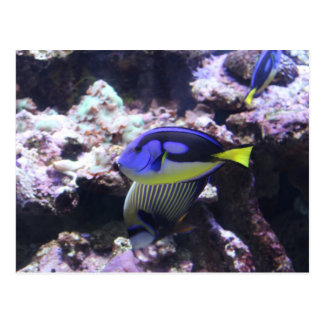 Regal Tang and Emperor Angelfish # 2 Post Cards