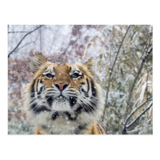 Regal Tiger in Snow Postcard