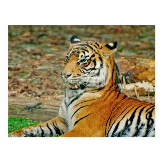Regal Tiger Postcard
