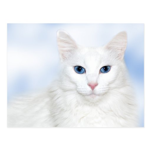 Regal white cat post cards