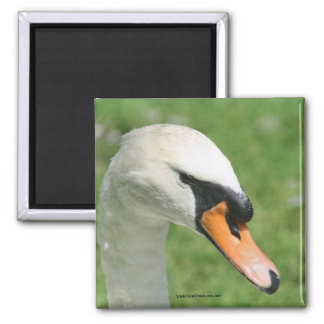 Regal White Swan Nature Photography Magnet