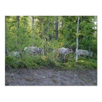 Reindeer in Lapland postcard