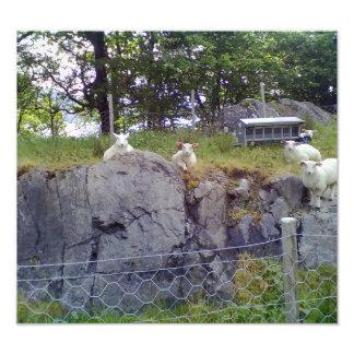 Relaxing Sheep Photo Print