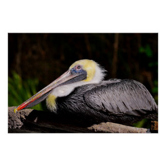 Relaxted pelican on wreked boat. poster
