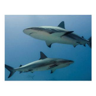 Requin des Caraïbes de récif Carte Postale