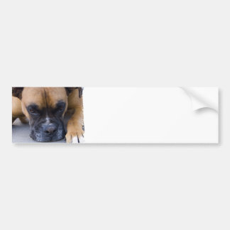 Resting Boxer Dog Bumper Stickers