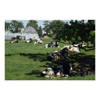 Resting Cows on the Farm Photography Midwest Poste Poster