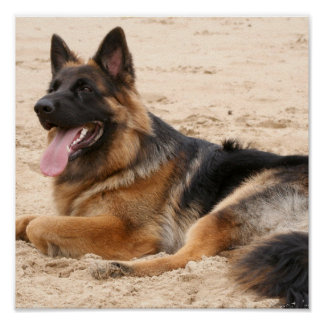 Resting German Shepherd Print