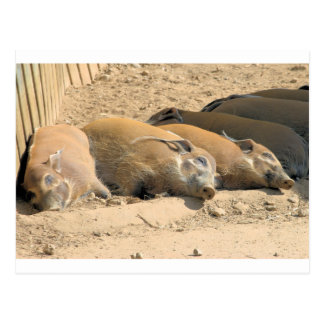 Resting River Hogs Postcard
