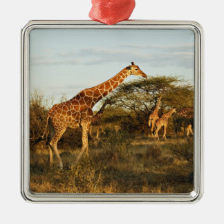 Reticulated Giraffes, Giraffe camelopardalis 2 Silver-Colored Square Ornament