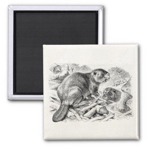 Rétros castors et barrage d'illustration vintage d magnets