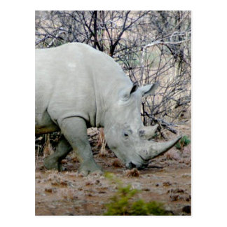 Rhino from South Africa Postcard