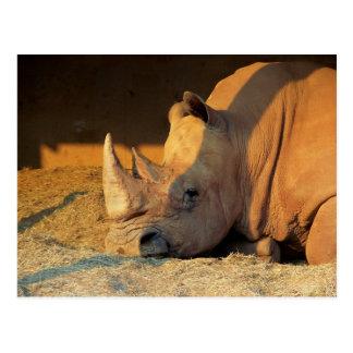 Rhino in Sunset Postcard
