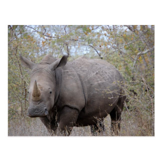 Rhinoceros in Kruger Postcard