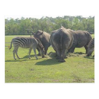 Rhinos & Zebra Chowing Down Postcard