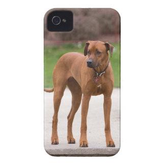 Rhodesian Ridgeback dog beautiful photo, gift iPhone 4 Case-Mate Cases