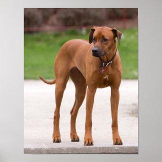 Rhodesian Ridgeback dog beautiful photo print