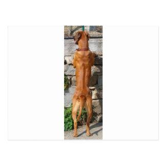 rhodesian ridgeback standing postcard