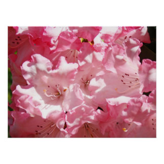 Rhodies Pink Summer Rhododendrons Healing Touch Posters