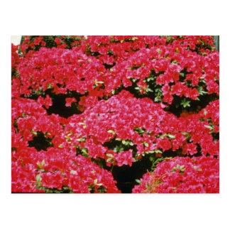 Rhododendron Azalea flowers Postcard
