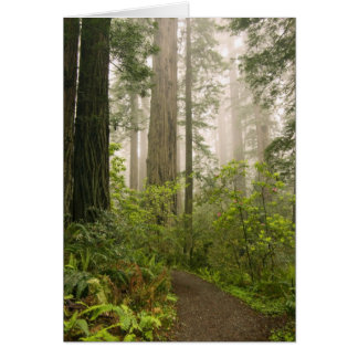 Rhododendron blooming among the Coast Redwoods / Greeting Card