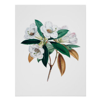 Rhododendron botanical print